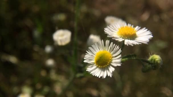 Closeup of wild daisy flowers in wind. Romantic White daisy flower at sunny summer day.  Oxeye daisy, Leucanthemum vulgare, daisies, Common daisy, Dog daisy, Moon daisy.