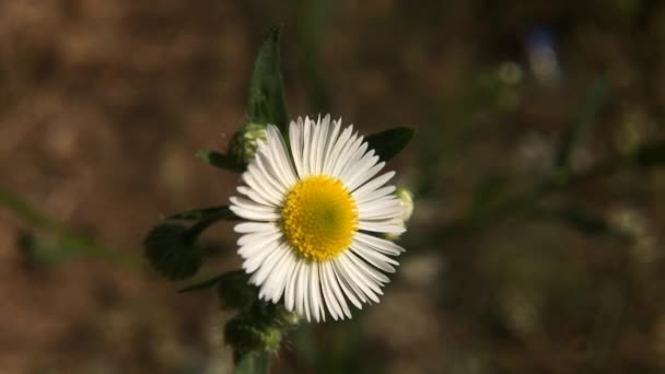 White daisy Flower Flowering in Summer. Beautiful nature scene. Chamomile flowers field close up with soft focus swaying in the wind.Wild flowers of camomile.