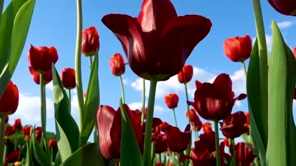 A lot of red tulips tremble slightly in the spring wind against the background of bright blue sky with white clouds.