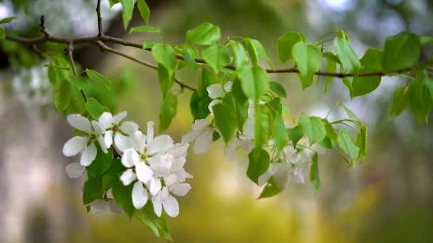 Větev jabloní s velkými bílými květy.