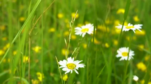 Wildflowers chamomile with white petals grow in the dense green grass in the meadow on a Sunny summer day.