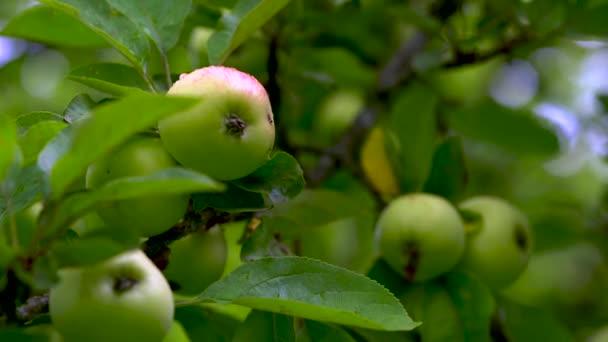 Zralá jablka visí na zeleném stromě mezi listy za letního dne..