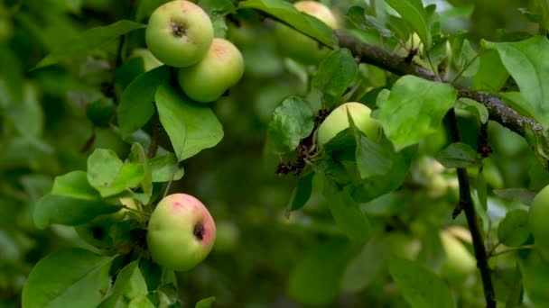 Ripe apples hang on a green tree among the leaves on a summer day.