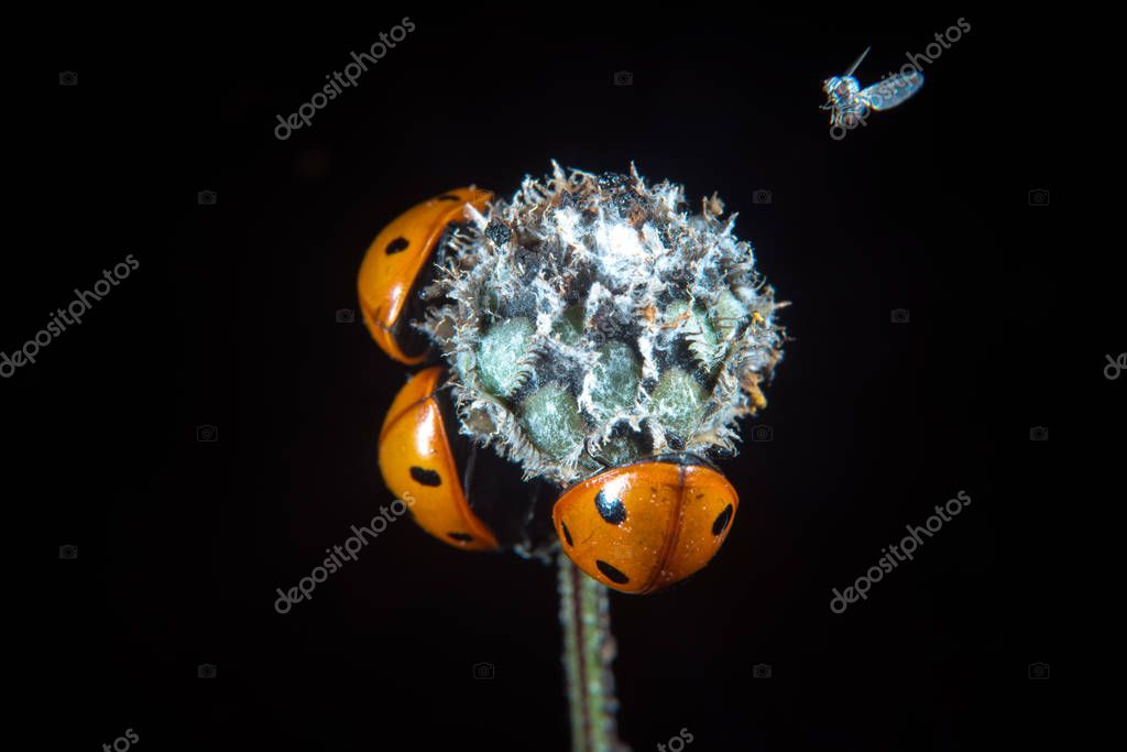 Ladybugs on a flower bod in summer and a small fly