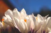 Közelről fehér virágok lila részletek napos tiszta nap