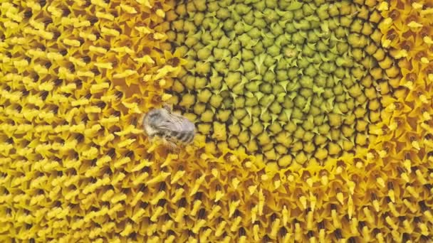 Honey bee collecting pollen and nectar on a sunflower, close-up