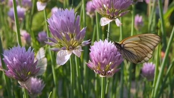 Schmetterling sitzt auf lila Blume allium schoenoprasum Schnittlauch im Park. schwarz-geäderter weißer Aporia crataegi sammelt Nektar, Nahaufnahme