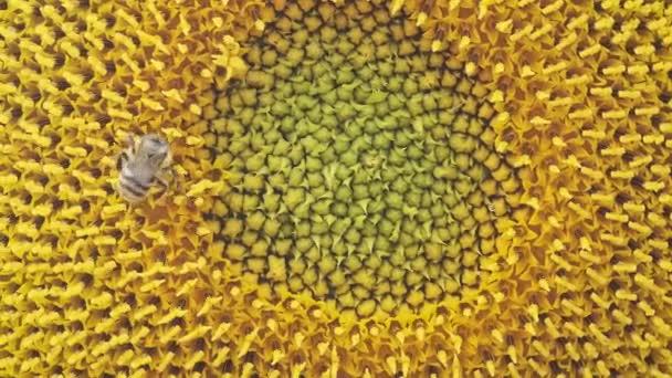 Mézelő méh pollen és nektárt gyűjtése a napraforgó, közeli