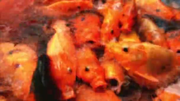 Etetés színes díszes pontyhal