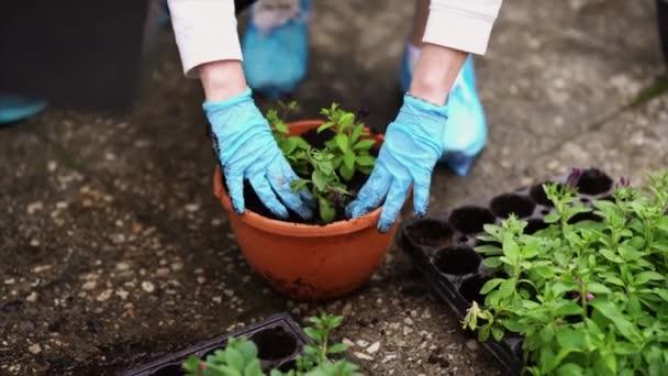 Kertészeti. Kerti Hortenzia bokrok lány dolgozik. Kertész nő virágok locsolókanna vizeken. Virágai rózsaszín, kék és virágzó ország házában