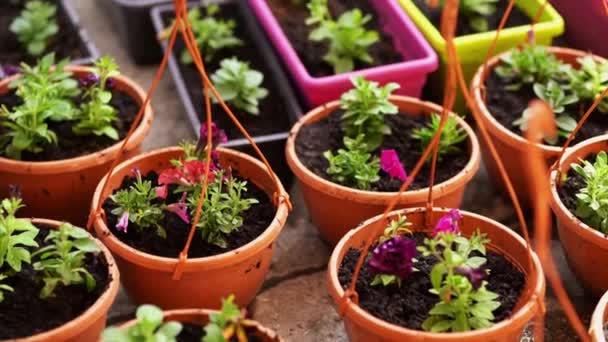 Gartenarbeit. Mädchen arbeitet im Garten mit Hortensien. Gärtnerin gießt Blumen mit Gießkanne. Blumen sind rosa, blau und blühen in einem Landhaus