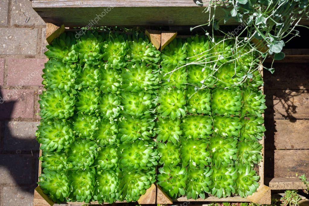 sempervivum succulent plants in pots for sale on garden market display.