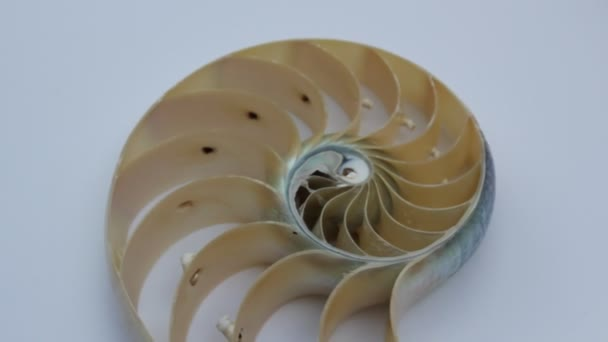 shell nautilus pearl Fibonacci sequence symmetry cross section spiral shell structure golden ratio background nature pattern mollusk shell (nautilus pompilius) copy space half split stock footage video clip