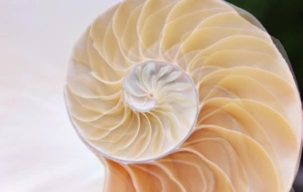 shell nautilus pearl Fibonacci sequence symmetry cross section spiral shell structure golden ratio background nature pattern mollusk shell (nautilus pompilius) copy space half split stock photo  footage video
