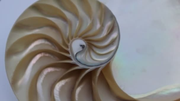 shell nautilus pearl Fibonacci sequence symmetry cross section spiral shell structure golden ratio background nature pattern mollusk shell (nautilus pompilius) copy space half split stock footage
