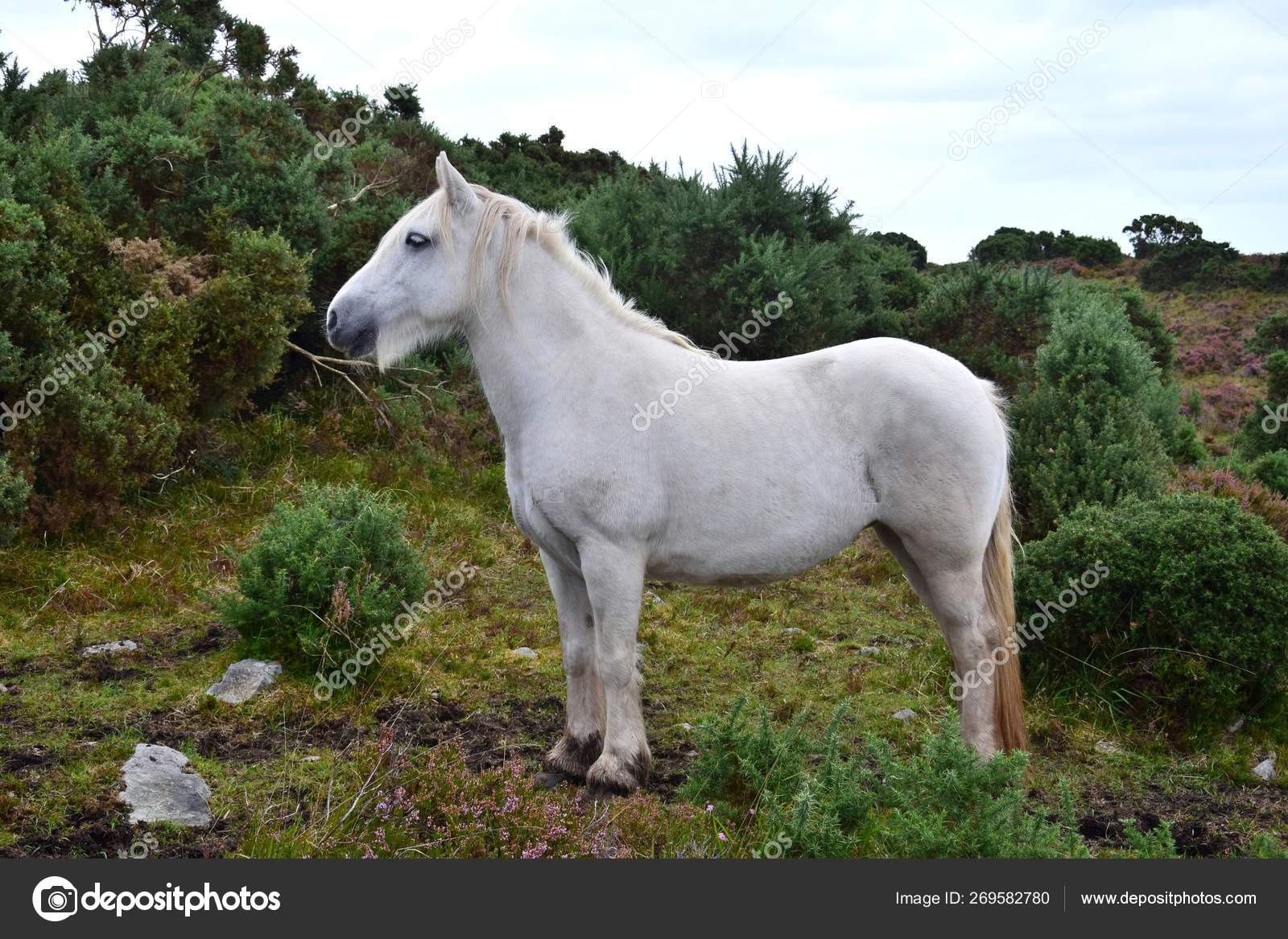 Beautiful White Horse In Ireland Stock Photo C Susannefritzsche 269582780