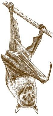 engraving illustration of large flying fox