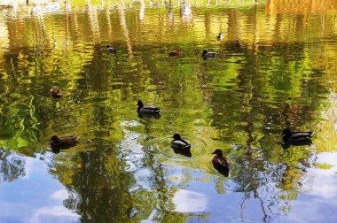 ducks in the Infante Don Pedro Park in Aveiro, Portugal. Europe