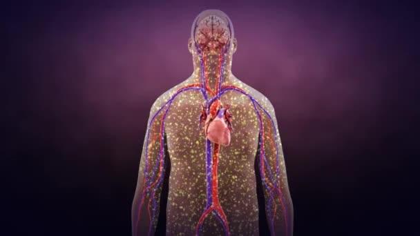 Dna Mikrobiota v kardiovaskulární zdraví a nemoci. Ilustrace na lidském modelu