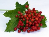 A branch of red viburnum grows in the garden in the fall. Harvesting. Useful berries used in medicine. Tea with viburnum