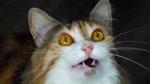 Zár-megjelöl-ból szépség macska vacak. Vad sárga szemek.