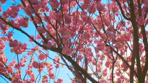 Krásné Kvetoucí třešeň sakura v jarním období po modré obloze.