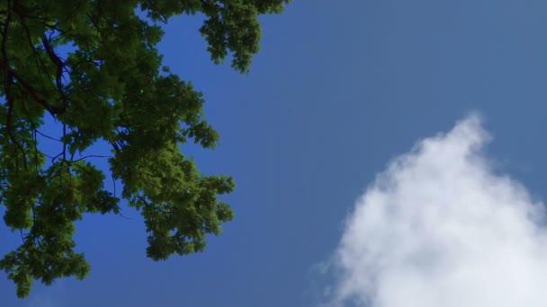 Zelené dubové stromy se listoví na modrém nebi. Dubové stromy na obloze a mraky.