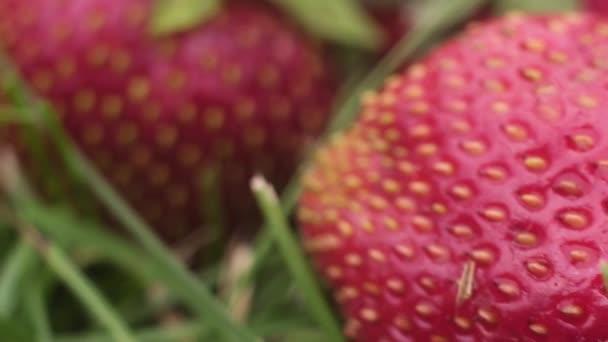 fotografovat šťavnaté zralé jahody ležící na zemi v zelené suché trávě. Kamera prochází stonky rostlin velkým bobulí se semeny na slupce.