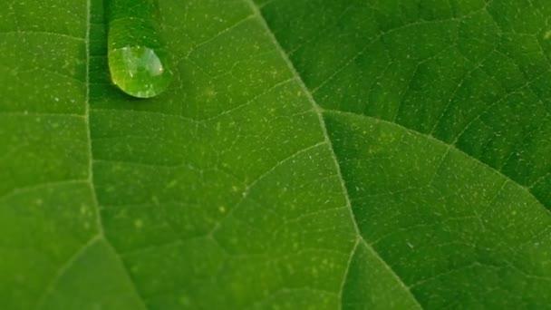 a transparent drop of dew slowly rolls down the green leaf, leaving a wet trail and falls down. Morning diffused light after the rain. The camera moves, the focus changes.