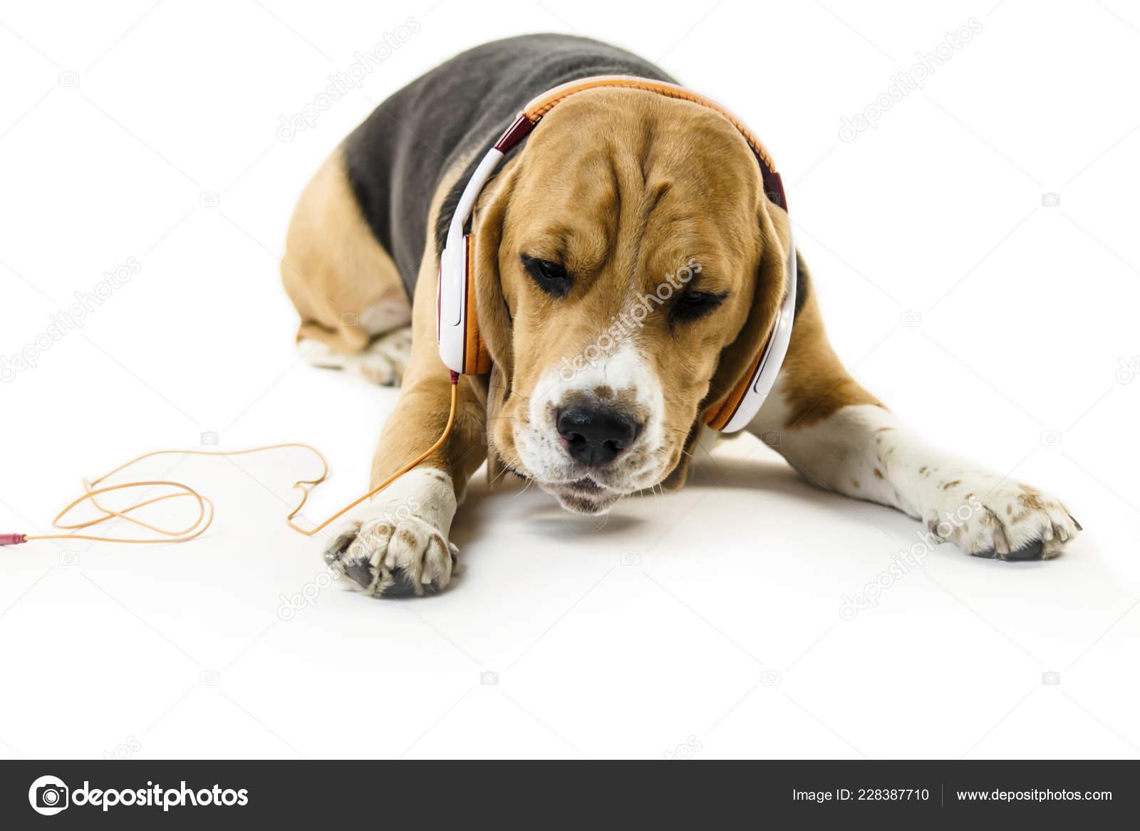 Funny Beagle Dog Headphones Listening Music White Background Stock Photo C Mikitiger 228387710