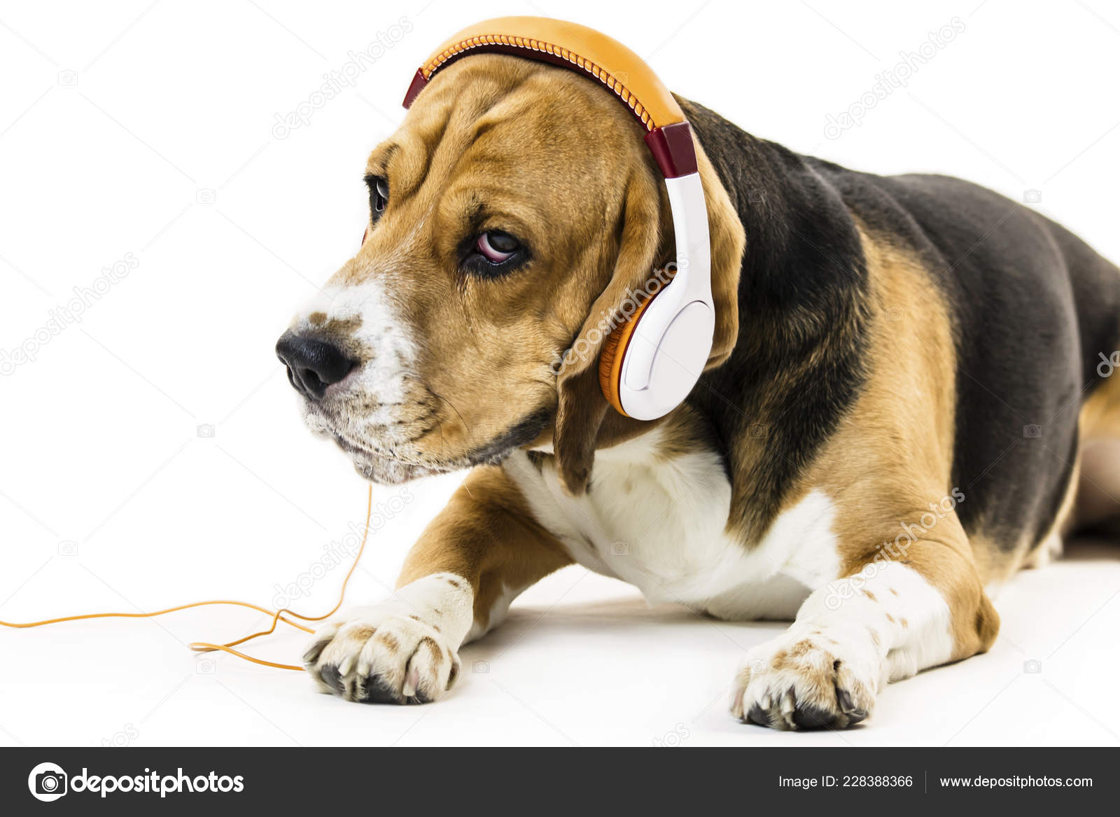 Funny Beagle Dog Headphones Listening Music White Background Stock Photo C Mikitiger 228388366