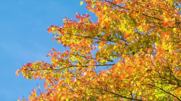 A Tree Displaying the Fall Colors of North Carolina in front of a Blue Sky during Autumn in the Blue Ridge Mountains