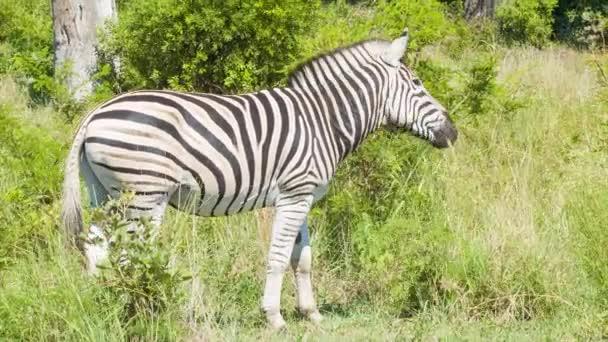 Zebra a zöld fű afrikai Habitat étkezés a Sunny Day belül Kruger Nemzeti Park Dél-Afrika