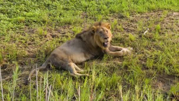 Blízkina lva v přírodním africkém habitatu při pokládání na zelené obyčejné travnaté prostředí uvnitř Krugerského národního parku Jižní Afrika