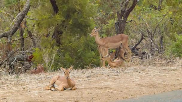 footage of antelopes in Natural Environment of Kruger National Park in South Africa