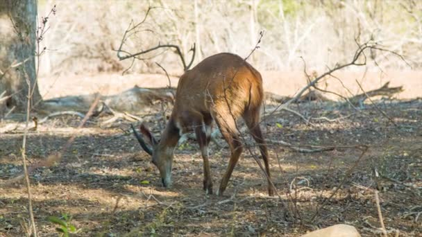 footage of antelope in Natural Environment of Kruger National Park in South Africa