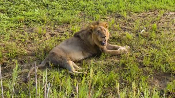 záběry lva v přírodním prostředí Krugerského národního parku v Jižní Africe