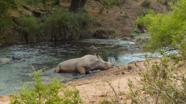 footage of rhino in Natural Environment of Kruger National Park in South Africa
