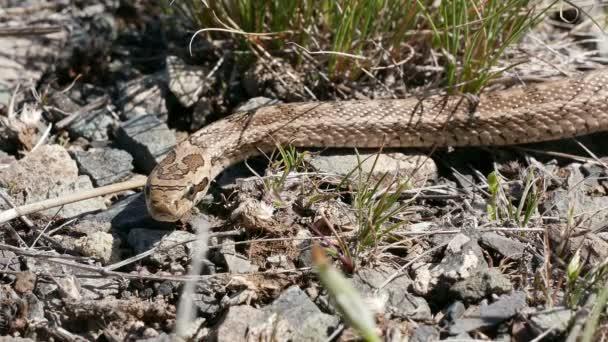 Hadí jed z cottonmouthu v jižním Kazachstánu.