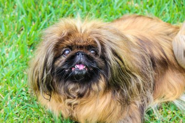 Beautiful brown long-haired Pekingese dog, adult female. Also known as Pekinese, Beijing Lion Dog or Chinese Spaniel. Purebred, pedigree. Photographed outdoors, green grass background