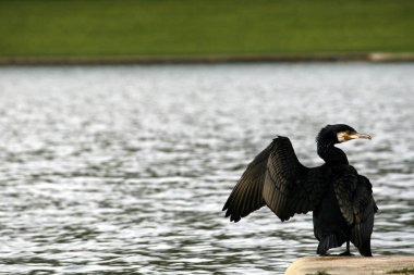Black Cormorant bird with green eyes pictured near a lake in Fra