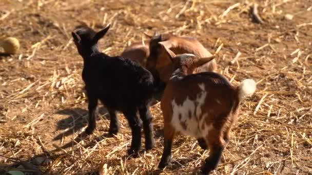 kleine häusliche braune, schwarz-weiße Ziegenbabys mit winzigen Hörnern, die an einem sonnigen Tag schläfrig auf einem Feld liegen und sich warm und verschwommen und niedlich fühlen.