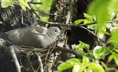 dove hatches eggs in the nest.