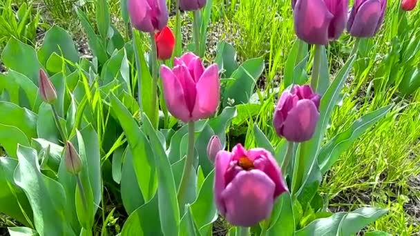 Virágágyások különböző színű Tulipánokkal