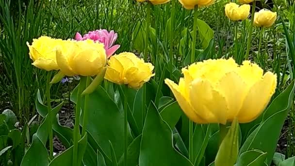 Fringed Terry sárga tulipán egzotikus Sun