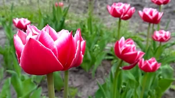 Dvojitý růžový Tulipán