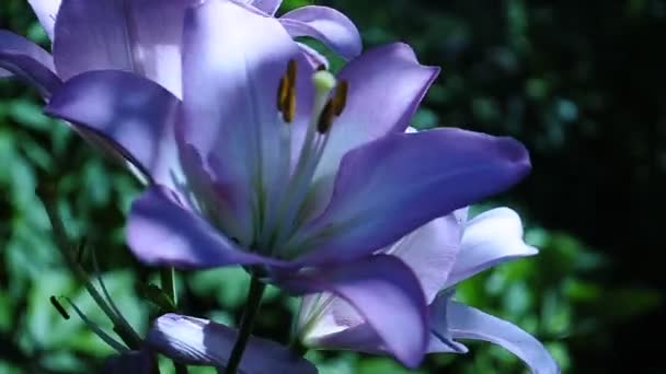 Pink lily perennial bulbous plant