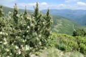 Great Mountains - view from the top with flowering pine tree