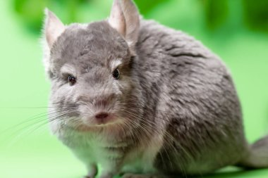 cute gray chinchilla sitting on green colored background with leaves , lovely pets and nature concept, purebred fluffy rodent
