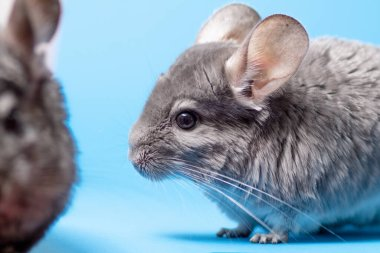 cute gray chinchillas walking on blue colored studio background, lovely pets concept, purebred fluffy rodent, animal behavior